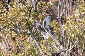 African Hawk-Eagle - in flight - check the legs.. Waterberg, Namibia