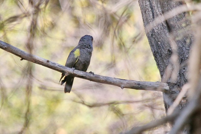Ruppel's Parrot. Waterberg, Namibia