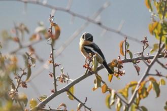 Pririt Batis - female. Waterberg, Namibia