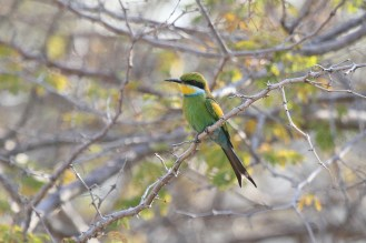 Swallow-tailed Bee-eater. Waterberg, Namibia