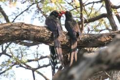 Violet Wood-hoopoe. Waterberg, Namibia