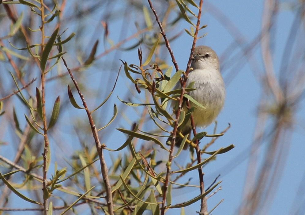 Yellow-bellied Eromomela - desert variation?. Swakopmund