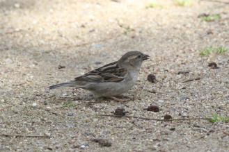 House Sparrow - female, Bendigo