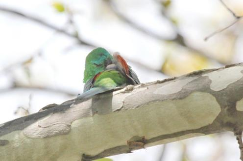 Red-rumped Parrot, Bendigo