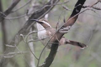 White-browed Babbler, Greater Bendigo NP