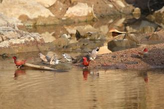Assorted Finches, Ferguson River