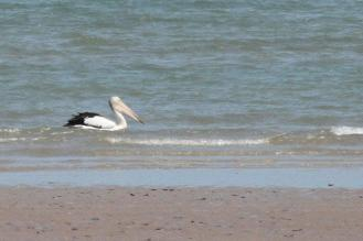Australian Pelican, Lee Point
