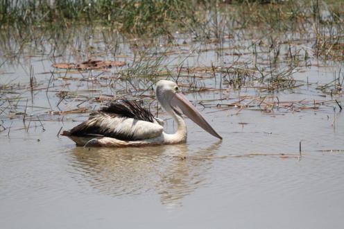 Australian Pelican, Mamukala Wetlands