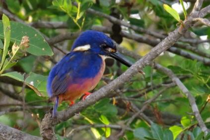 Azure Kingfisher, Gagudju,Yellow River