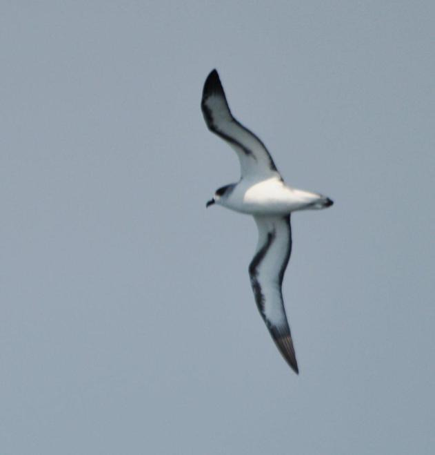 Barau's Petrel (Pterodroma baraui)