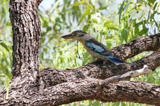 Blue-winged Kookaburra, Victoria River