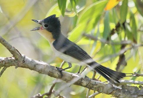 Broad-billed Flycatcher, Fogg Dam