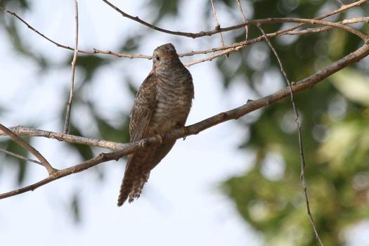 Brush Cuckoo, McMinns Lagoon