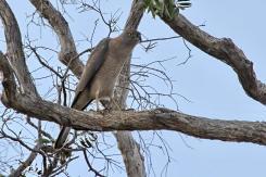 Collared Sparrowhawk, Gubara