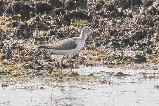 Common Greenshank, Fogg Dam