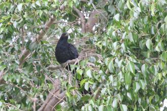 Eastern Koel - male, Katherine