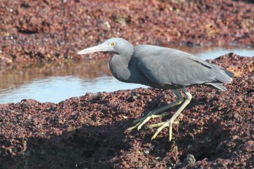 Eastern Reef Egret, East Point