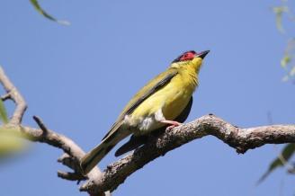 Figbird - male, Charles Darwin