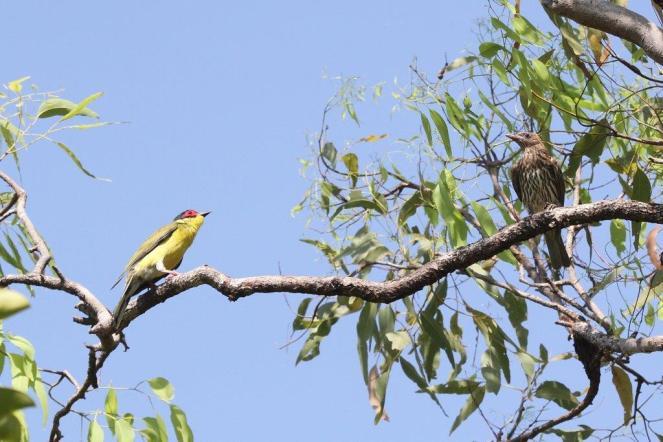 Figbird male and female, Charles Darwin