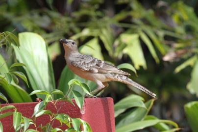 Great Bowerbird, Gagudju