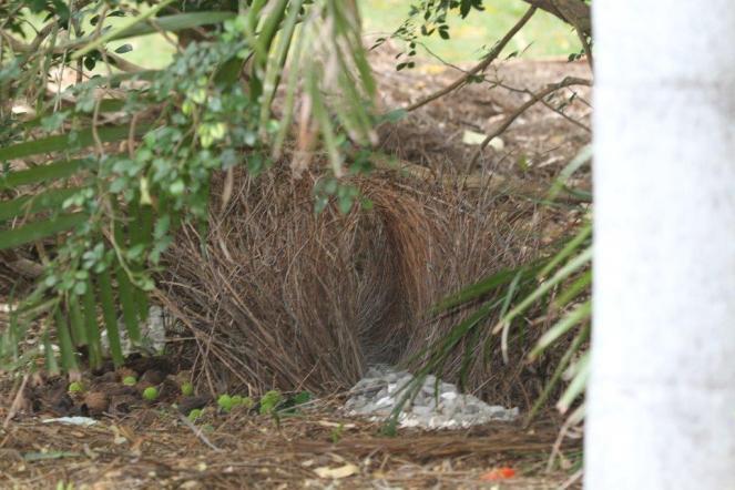 Great Bowerbird nest, Katherine
