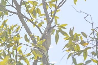 Helmeted Friarbird, Buffalo Creek