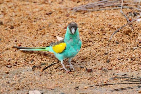 Hooded Parrot - male, Ferguson River