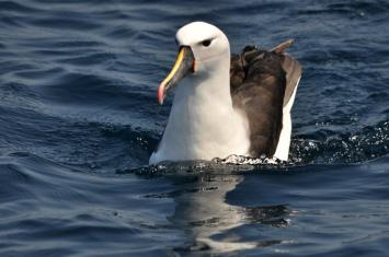 Indian Yellow-nosed Albatross (Thalassarche carteri) Adult