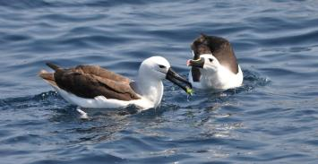 Indian Yellow-nosed Albatross (Thalassarche carteri) Immature and Adult