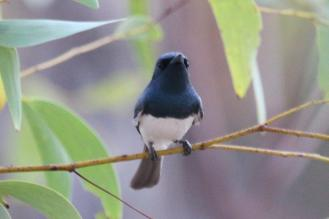 Leaden Flycatcher, Edith Falls