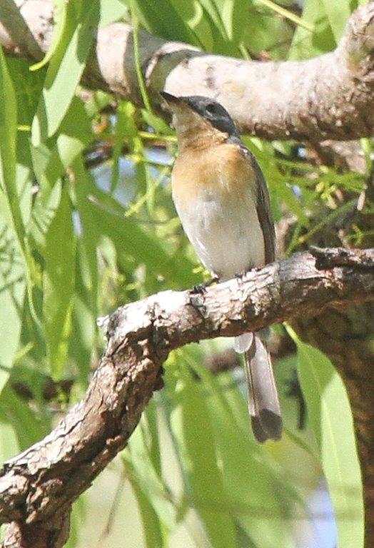 Leaden Flycatcher, Charles Darwin