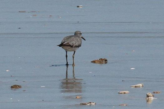 Grey-tailed Tattler, Lee Point