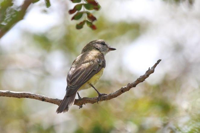Lemon-bellied Flycatcher, Adelaide River