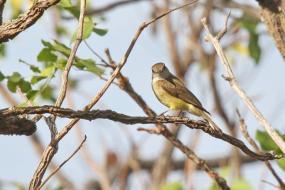 Lemon-bellied Flycatcher, Charles Darwin