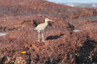 Whimbrel, East Point