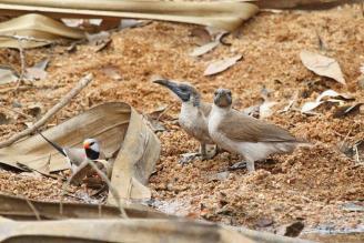 Little Friarbirds & Long-tailed Finch, Ferguson River