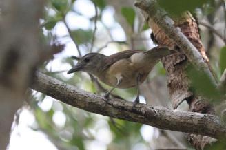 Little Shrike-thrush, Charles Darwin