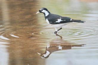 Magpie-lark- male, Ferguson River
