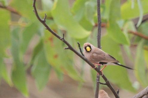 Masked Finch, Ferguson River