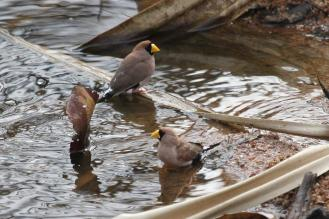 Masked Finches, Ferguson River
