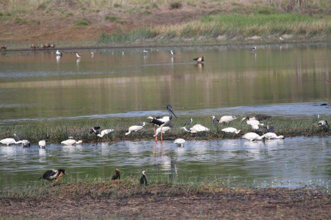 Mixed bag of Waterbirds, McMinns Lagoon