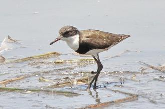 Red-kneed Dotterell, Mamukala Wetlands