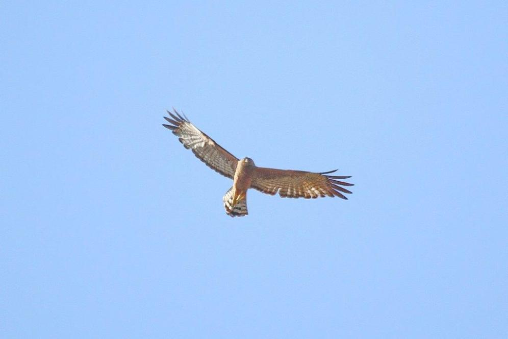Spotted Harrier, en route to Pine Creek
