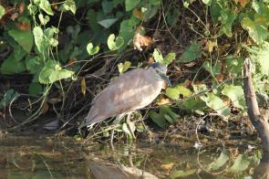 Nankeen Night-Heron, Gagudju - Yellow Water
