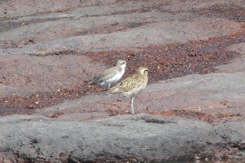 Pacific Golden Plover, East Point