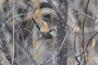 Purple-crowned Fairy-Wren - female, Victoria River