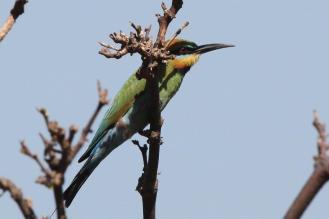 Rainbow Bee-eater, East Point