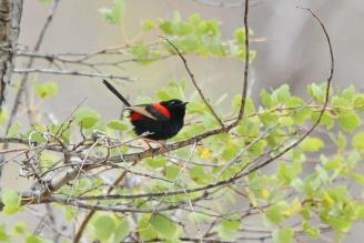 Red-backed Fairy-Wren, Buntine Highway