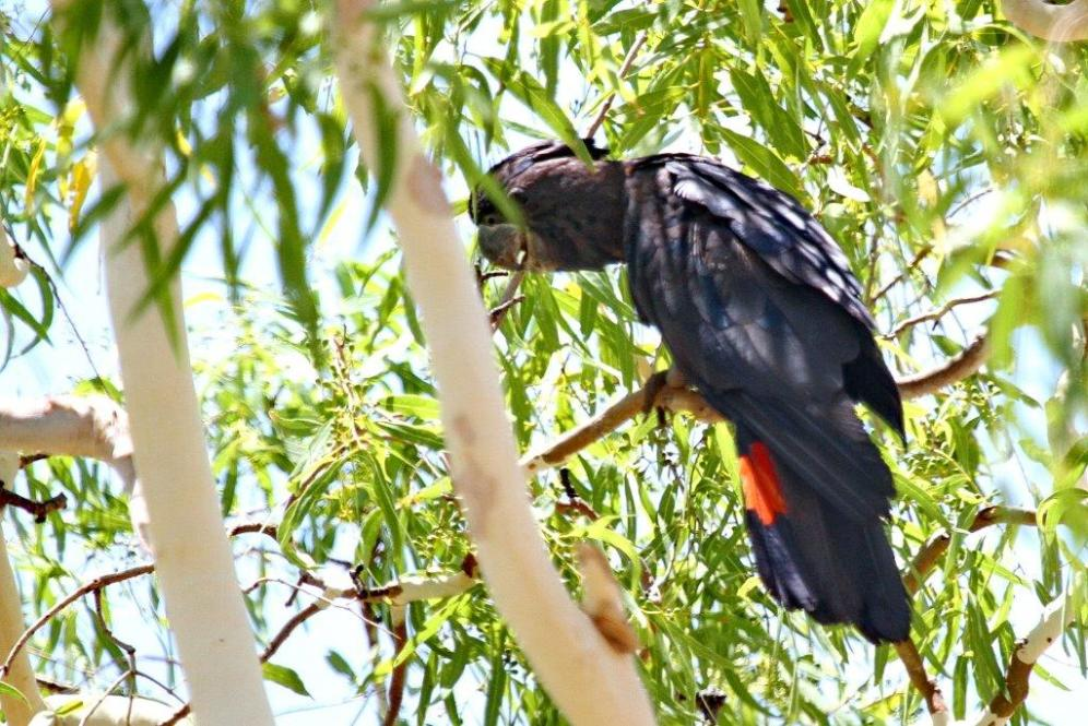 Red-tailed Black-Cockatoos, Buntine Highway