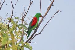 Red-winged Parrot, Gubara